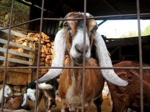 Sataf Goat
